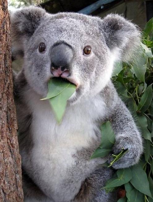 基因组分析显示,考拉以桉树